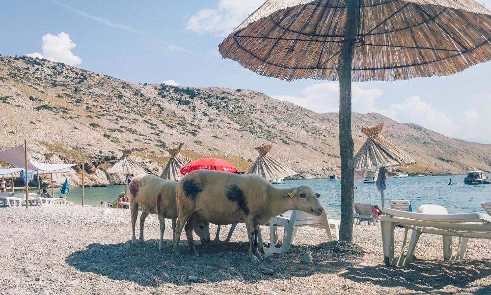 Sheep exploring Vela Luka beach