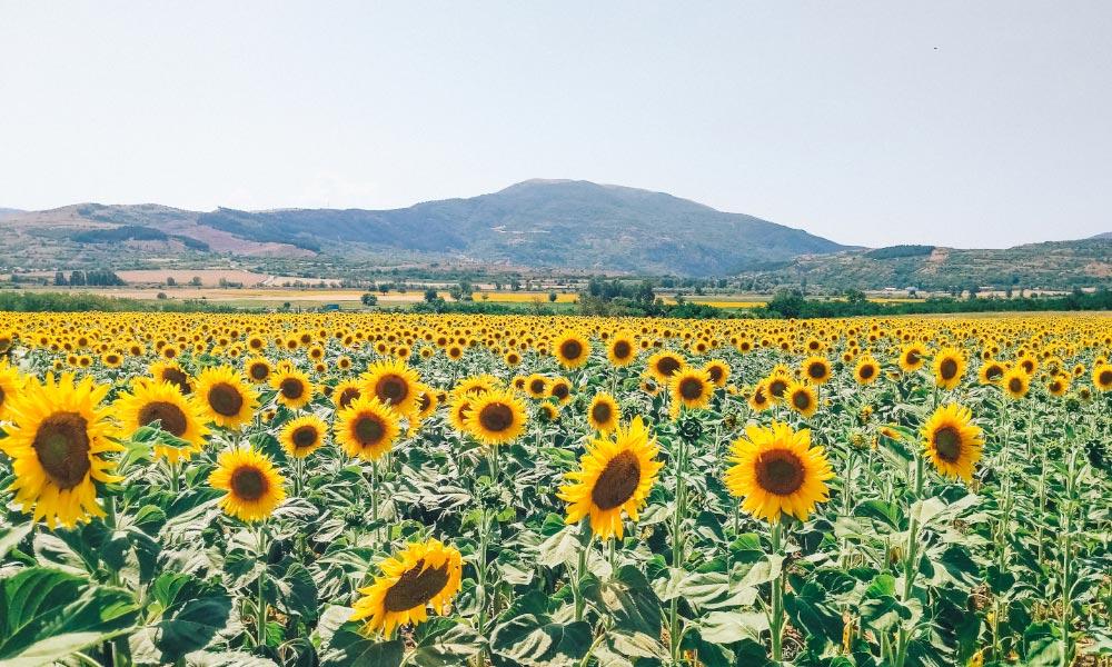 A massive sunflower field in Bulgaria